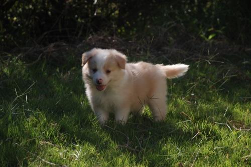 ボーダーコリーの子犬(ID:1253011055)の1枚目の写真/更新日:2017-09-20