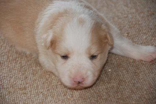 ボーダーコリーの子犬(ID:1253011056)の1枚目の写真/更新日:2017-09-20