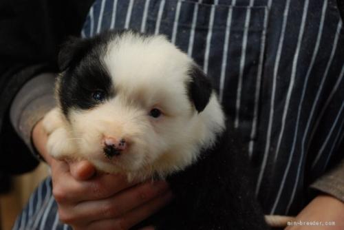 ボーダーコリーの子犬(ID:1253011059)の1枚目の写真/更新日:2017-11-07
