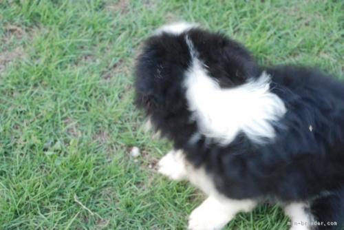 ボーダーコリーの子犬(ID:1253011061)の2枚目の写真/更新日:2017-11-07