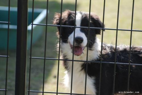 ボーダーコリーの子犬(ID:1253011063)の2枚目の写真/更新日:2017-11-07