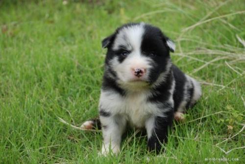 ボーダーコリーの子犬(ID:1253011065)の1枚目の写真/更新日:2018-05-01