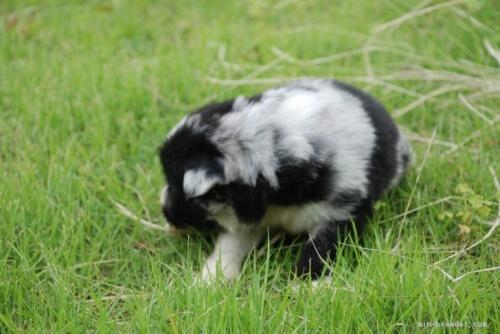 ボーダーコリーの子犬(ID:1253011065)の2枚目の写真/更新日:2018-05-01