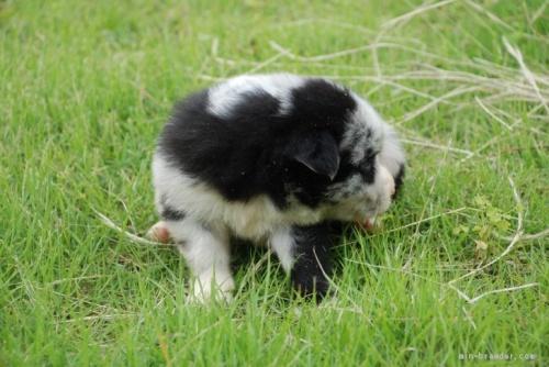 ボーダーコリーの子犬(ID:1253011065)の3枚目の写真/更新日:2018-05-01