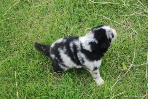 ボーダーコリーの子犬(ID:1253011065)の4枚目の写真/更新日:2021-06-14
