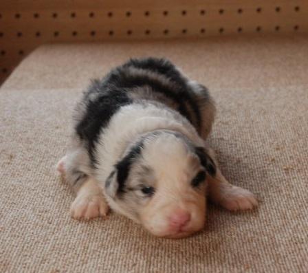 ボーダーコリーの子犬(ID:1253011066)の1枚目の写真/更新日:2018-05-01
