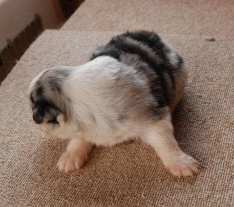 ボーダーコリーの子犬(ID:1253011066)の3枚目の写真/更新日:2018-05-01