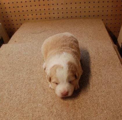 ボーダーコリーの子犬(ID:1253011071)の1枚目の写真/更新日:2018-05-15