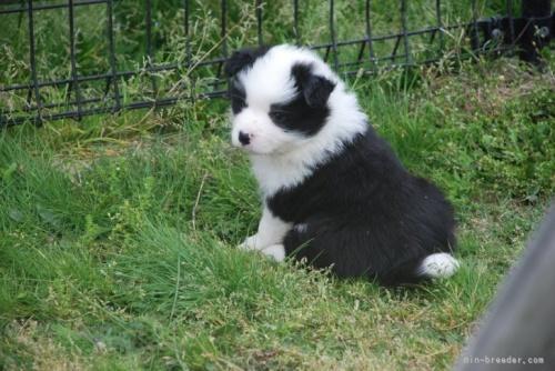 ボーダーコリーの子犬(ID:1253011072)の2枚目の写真/更新日:2018-05-15