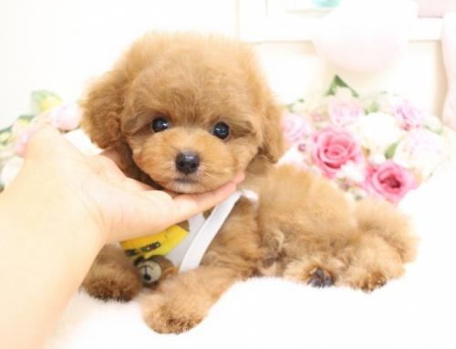 トイプードルの子犬(ID:1253111061)の1枚目の写真/更新日:2018-06-11