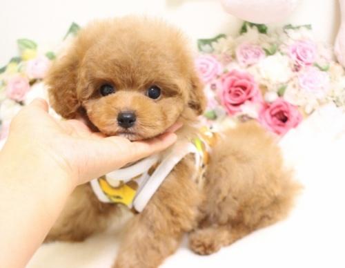 トイプードルの子犬(ID:1253111061)の2枚目の写真/更新日:2018-06-11