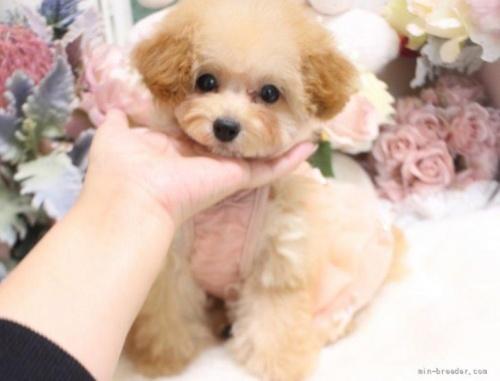 トイプードルの子犬(ID:1253111063)の2枚目の写真/更新日:2018-06-06