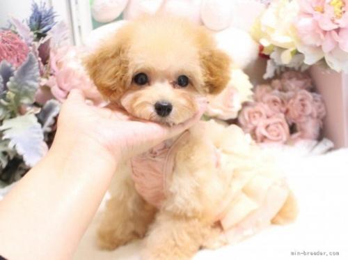 トイプードルの子犬(ID:1253111063)の3枚目の写真/更新日:2018-06-06