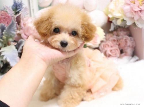 トイプードルの子犬(ID:1253111063)の4枚目の写真/更新日:2018-06-06