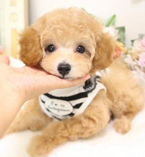 トイプードルの子犬(ID:1253111064)の1枚目の写真/更新日:2018-07-31