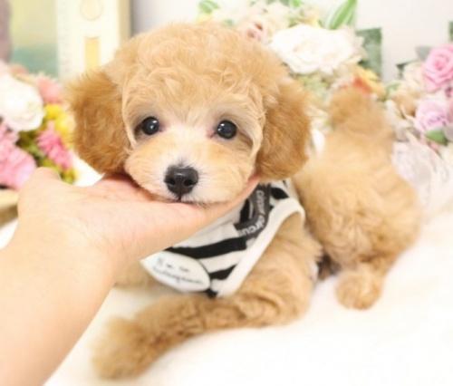 トイプードルの子犬(ID:1253111064)の2枚目の写真/更新日:2018-07-31