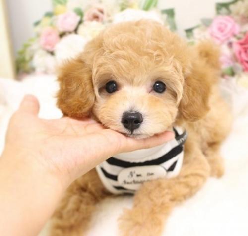 トイプードルの子犬(ID:1253111064)の3枚目の写真/更新日:2018-07-31