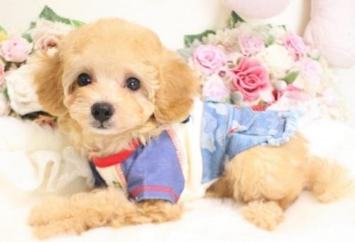 トイプードルの子犬(ID:1253111065)の1枚目の写真/更新日:2018-07-31