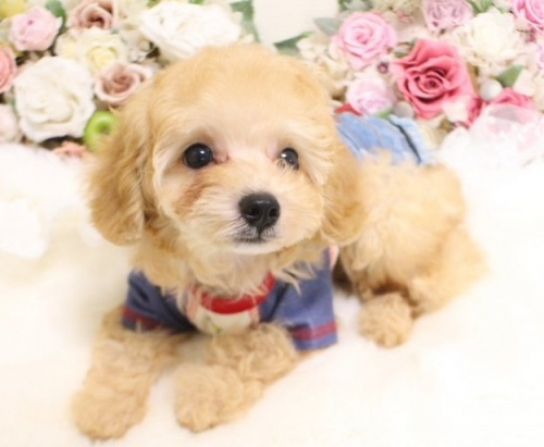 トイプードルの子犬(ID:1253111065)の2枚目の写真/更新日:2018-07-31
