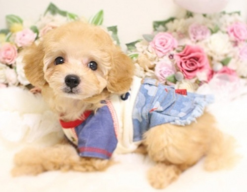 トイプードルの子犬(ID:1253111065)の3枚目の写真/更新日:2018-07-31