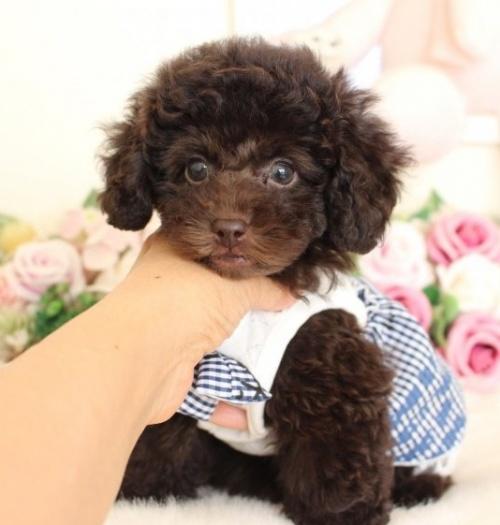 トイプードルの子犬(ID:1253111072)の1枚目の写真/更新日:2019-02-04