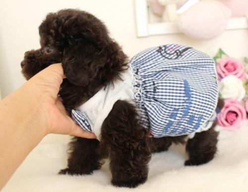 トイプードルの子犬(ID:1253111072)の2枚目の写真/更新日:2019-02-04