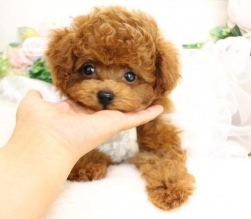 トイプードルの子犬(ID:1253111074)の1枚目の写真/更新日:2019-05-18