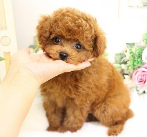 トイプードルの子犬(ID:1253111074)の2枚目の写真/更新日:2019-05-18
