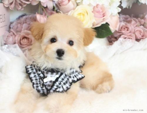 トイプードルの子犬(ID:1253111075)の1枚目の写真/更新日:2021-10-18