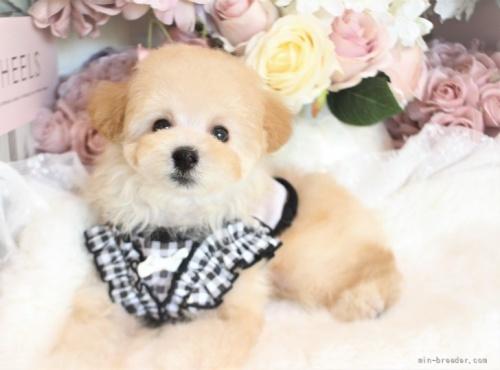 トイプードルの子犬(ID:1253111075)の2枚目の写真/更新日:2021-10-18