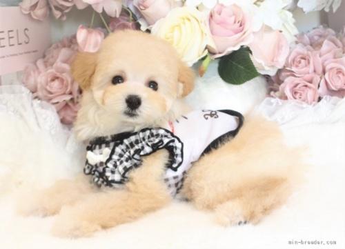 トイプードルの子犬(ID:1253111075)の3枚目の写真/更新日:2021-10-18