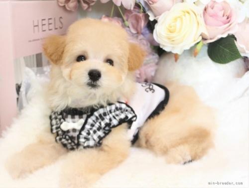 トイプードルの子犬(ID:1253111075)の4枚目の写真/更新日:2021-10-18