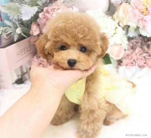 トイプードルの子犬(ID:1253111077)の3枚目の写真/更新日:2021-10-18