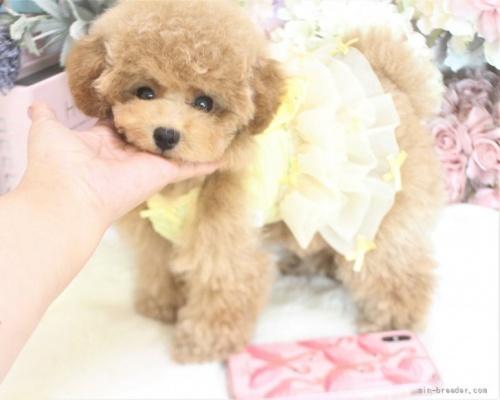 トイプードルの子犬(ID:1253111077)の4枚目の写真/更新日:2021-10-18