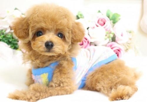 トイプードルの子犬(ID:1253111080)の1枚目の写真/更新日:2017-06-03