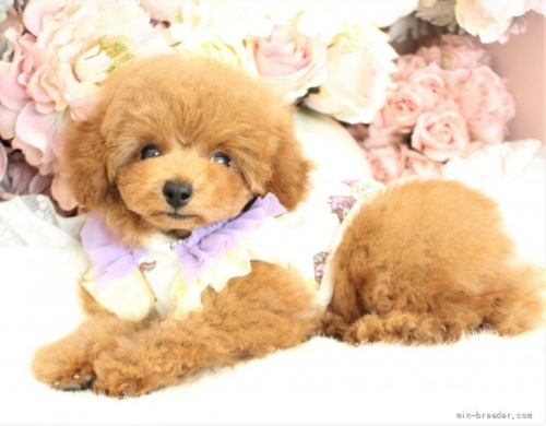 トイプードルの子犬(ID:1253111081)の1枚目の写真/更新日:2017-06-07