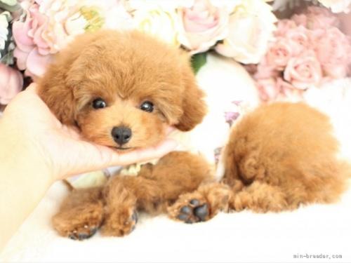 トイプードルの子犬(ID:1253111081)の2枚目の写真/更新日:2017-06-07