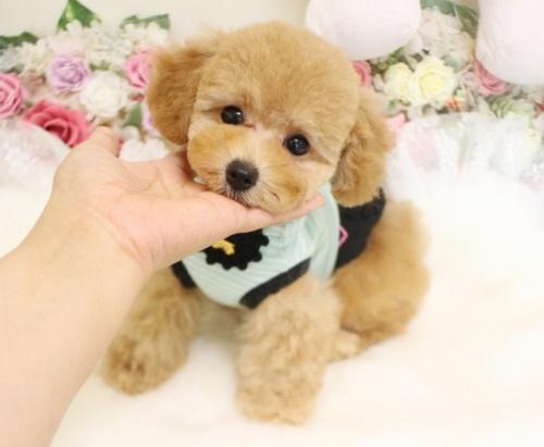 トイプードルの子犬(ID:1253111082)の1枚目の写真/更新日:2017-06-12
