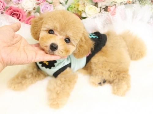トイプードルの子犬(ID:1253111082)の2枚目の写真/更新日:2017-06-12