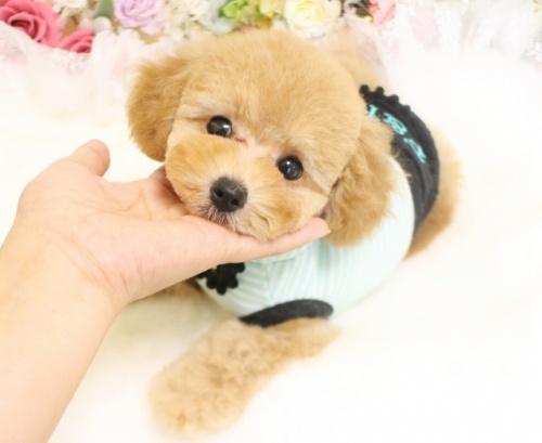 トイプードルの子犬(ID:1253111082)の3枚目の写真/更新日:2017-06-12
