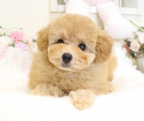 トイプードルの子犬(ID:1253111082)の5枚目の写真/更新日:2017-06-12