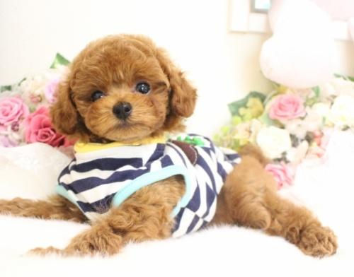 トイプードルの子犬(ID:1253111083)の1枚目の写真/更新日:2017-06-12