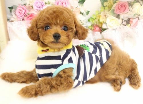 トイプードルの子犬(ID:1253111083)の2枚目の写真/更新日:2017-06-12