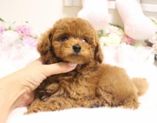 トイプードルの子犬(ID:1253111083)の3枚目の写真/更新日:2017-06-12