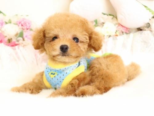 トイプードルの子犬(ID:1253111087)の1枚目の写真/更新日:2017-08-14