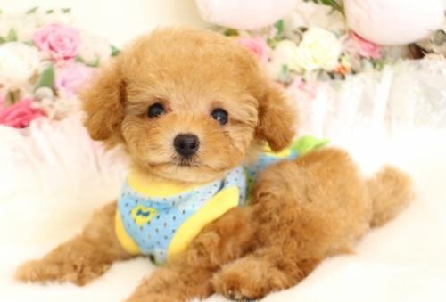 トイプードルの子犬(ID:1253111087)の2枚目の写真/更新日:2017-08-14