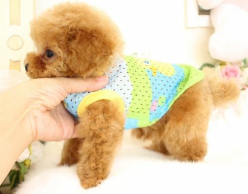 トイプードルの子犬(ID:1253111087)の3枚目の写真/更新日:2017-08-14