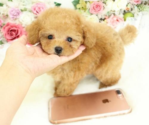 トイプードルの子犬(ID:1253111087)の5枚目の写真/更新日:2017-08-14