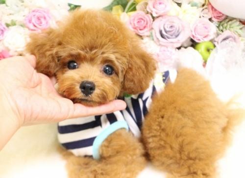 トイプードルの子犬(ID:1253111088)の1枚目の写真/更新日:2017-08-14