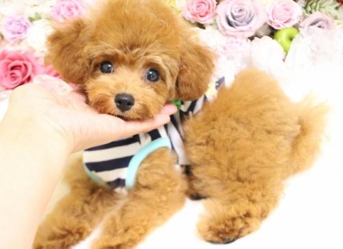 トイプードルの子犬(ID:1253111088)の2枚目の写真/更新日:2017-08-14
